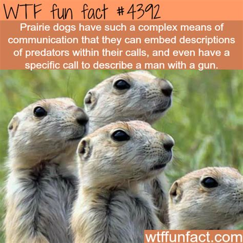 prairie facts prairie dogs facts