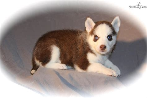 husky puppies for sale in dallas siberian husky puppies for sale in images