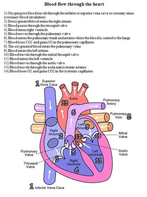 flow of blood through the diagram blood flow through the diagram and written steps