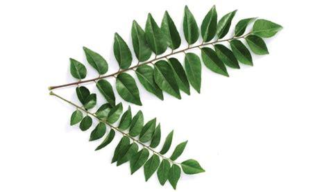 Tanaman Daun Kari pelbagai khasiat daun kari harian metro