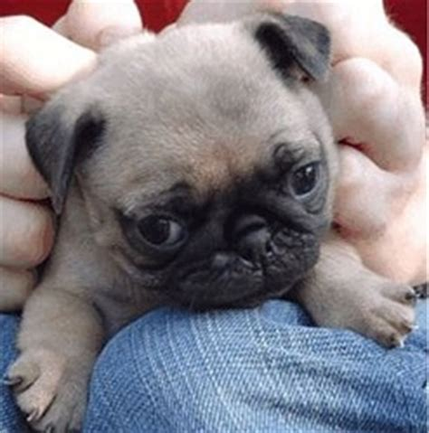 everything you need to about pugs i everything you need to all about pugs