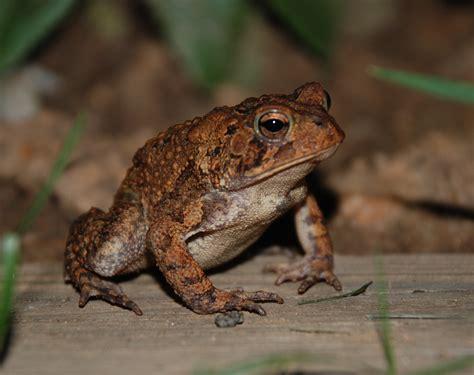 file american toad 8885 jpg