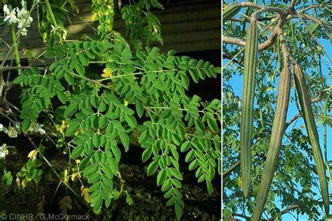 Serbuk Kelor 250 Gram khasiat daun kelor daun kelor the knownledge