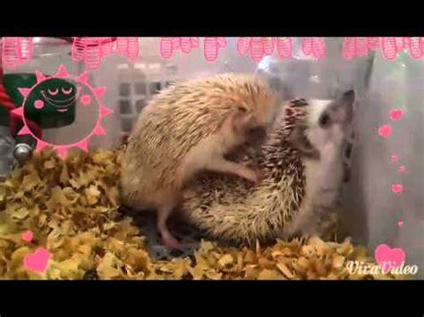 Landak Mini landak mini hedgehog kawin versi hawaii