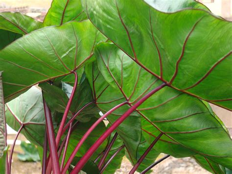 Colocasia ROYAL HAWAIIAN®   PlantHaven International
