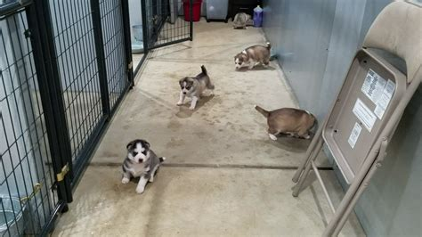 puppy nursery about bama huskies siberian husky puppies for sale