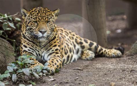 el jaguar jaguar s blog el jaguar est 225 en peligro cr 237 tico de extinci 243 n revela un