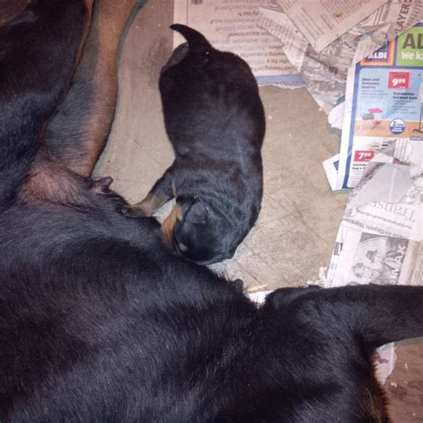 rottweiler puppies for sale in ga rottweilers llc