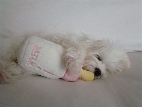 how should puppies sleep 12 reasons why you should never own a maltese