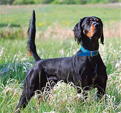 gordon setter hunting dogs for sale gordon setter gun dog
