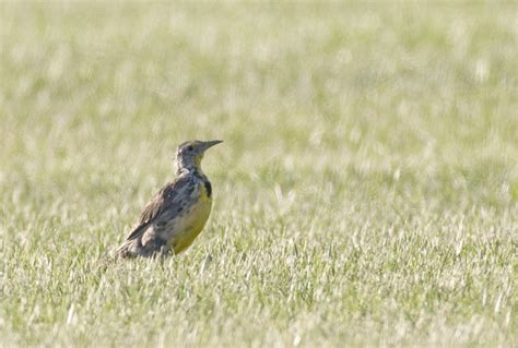 bill hubick photography western meadowlark sturnella