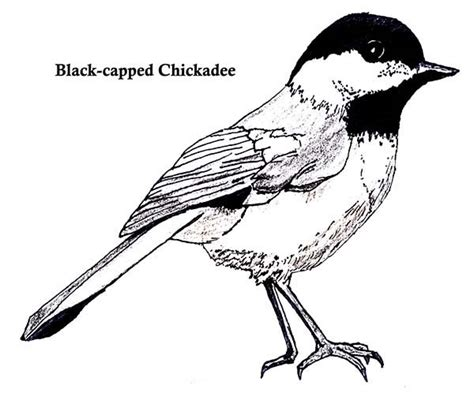 free coloring pages of black capped chickadee