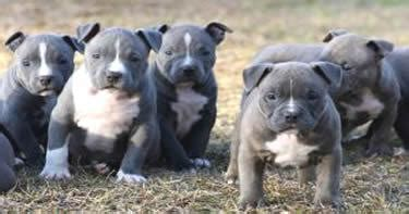 pitbull puppies for sell american pitbull puppies blue color for sell in delhi india delhi
