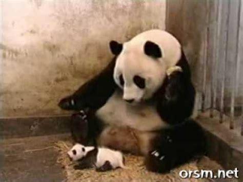 Sneezing Panda Meme - pandas the sneezing baby panda