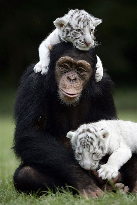 new year monkey for tigers 20 animal friendships showing true friendship