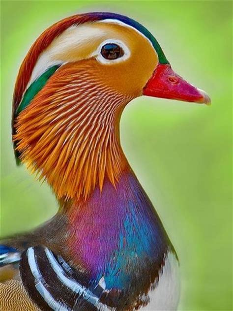 what color are ducks mandarin duck color me senseless