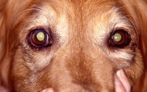 hyphema in dogs vetvine forum hyphema