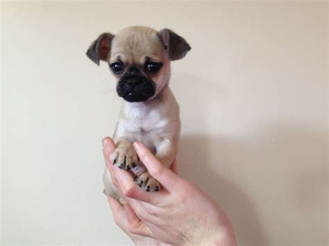 pug chihuahua pug x chihuahua 20 weeks needs a home weston mare somerset