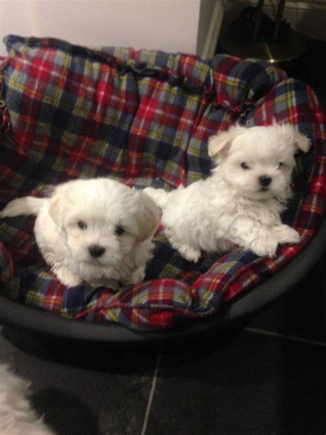 maltese terrier puppies for sale 2 maltese terrier puppies for sale folkestone kent pets4homes