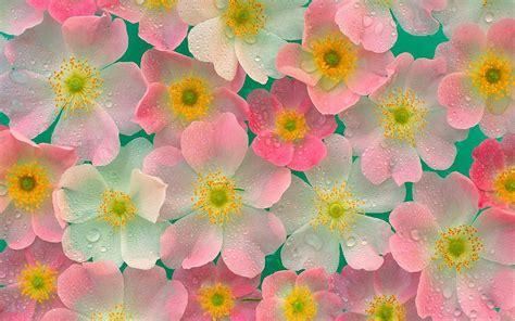 imagenes para fondos de pantalla flores fondos de pantalla de flores rosas con blanco tama 241 o 1920x1200