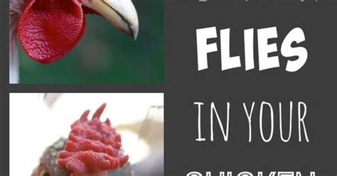 backyard chickens and flies how to rid your chicken coop of flies coops raising