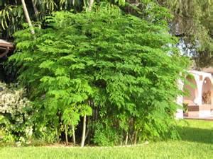 moringa garten das moringa pulver und seine heilende wirkung kennenlernen