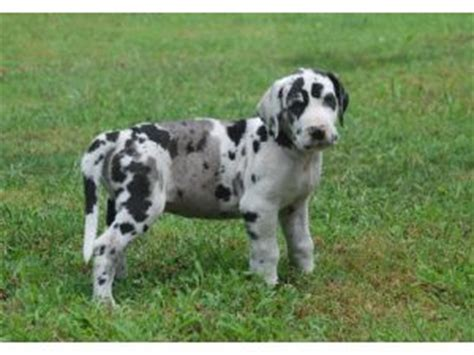 great dane puppies for sale in pa great dane puppies for sale akc great dane puppies