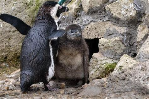 Pinguin Setbie two baby penguins make their debut at hungary zoo