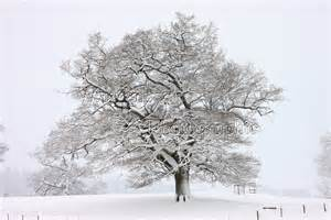 oak tree with snow in albury park photo wp22645