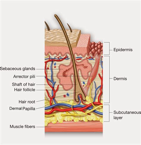 cross section of hair follicle the long and short of hair growth right ringlets