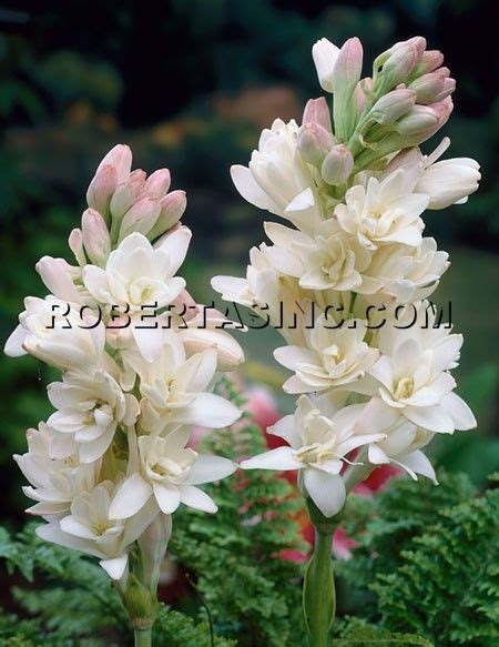 the most fragrant plants fragrant tuberose one of my favorites flowers