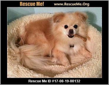 pomeranian rescue michigan michigan pomeranian rescue adoptions rescueme org