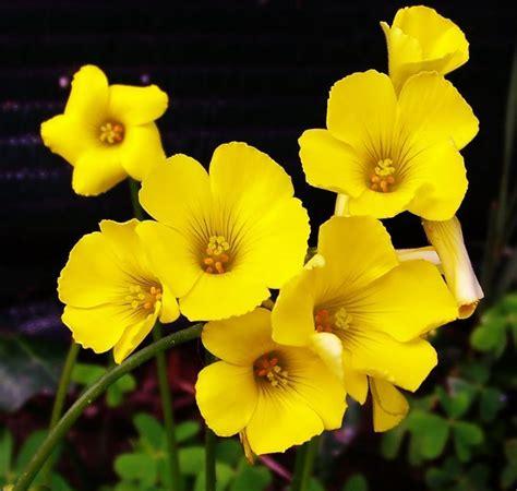 imagenes de flores amarillas fotos de flores amarillas yellow ŧl гєร pinterest