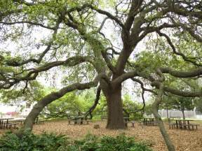 Tree Tx Remarkable Trees Of The Most Beautiful Tree In