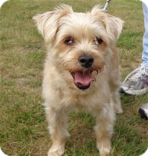 yorkie and miniature poodle mix polka adopted grayslake il yorkie terrier poodle miniature mix