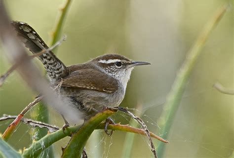 bewick s wren song call voice sound