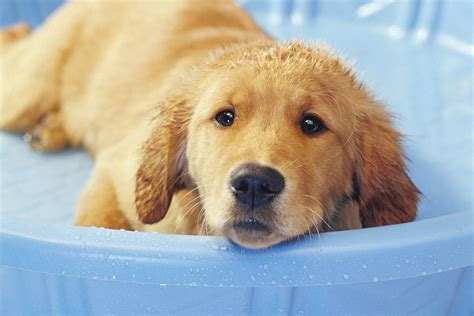 how to bathe a puppy how to bathe and groom your puppy