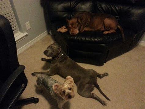 pitbull yorkie toby alba deuce my pups yorkie nose pitbull blue pitbull dogs