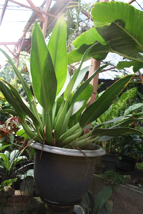 Tanaman Hias Daun Suplir Microfilm foto tanaman tanaman bunga tanaman hias gambar tanaman tanaman air tanaman anggrek