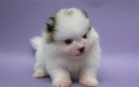 pictures of baby pomeranians pomeranian lovely baby 1920x1200 wallpapers pomeranian 1920x1200 wallpapers pictures