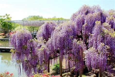 japan wisteria tunnel crazy plant trend of the day japanese wisteria tunnel