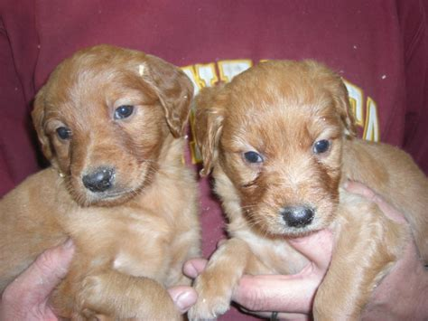 puppies for sale minneapolis goldendoodle puppies for sale minneapolis st paul cedar farms goldendoodles