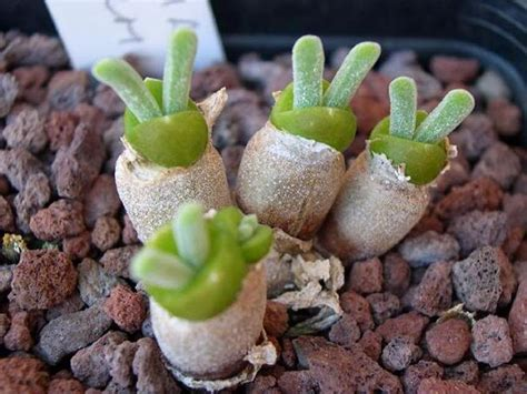 cute succulents japanese are going crazy about these bunny succulents