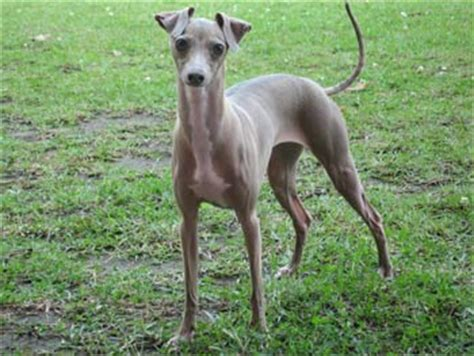 blue greyhound puppies for sale italian greyhound photos pictures italian greyhounds page 5
