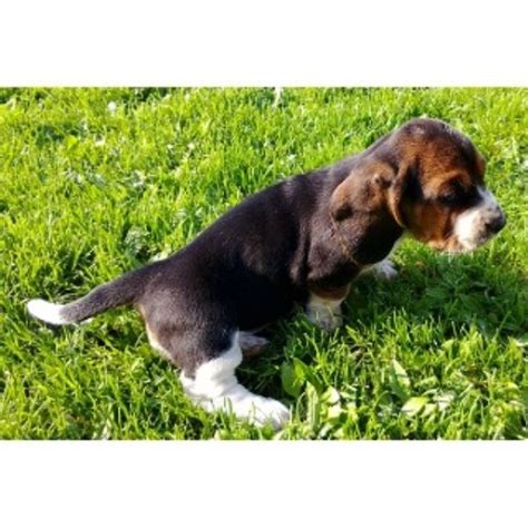 basset hound puppies for sale in indiana hoosier hounds basset hound breeder in indiana