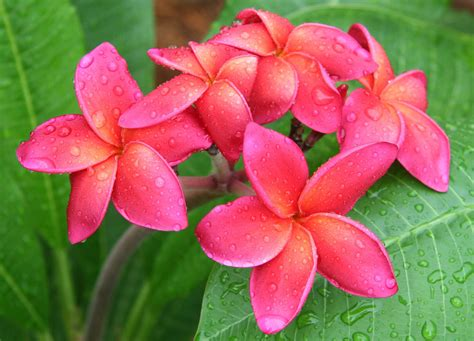plumeria flower flower picture plumeria flower desktop wallpaper