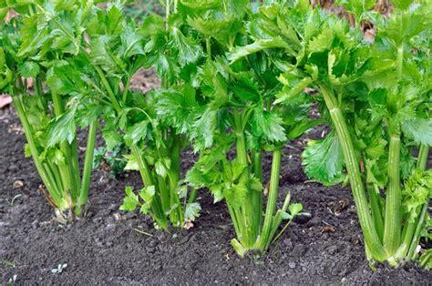 coltivare sedano rapa piantare sedano e radicchio nell orto a luglio pollicegreen