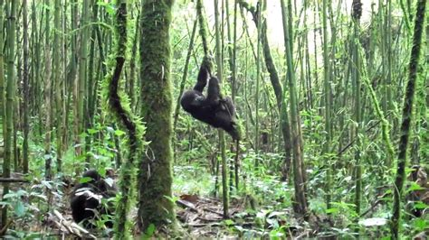 monkey swinging on a vine baby gorilla swinging from vine in rwanda youtube