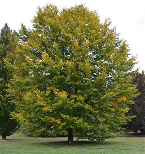 fagus sylvatica ufei selectree a tree selection guide
