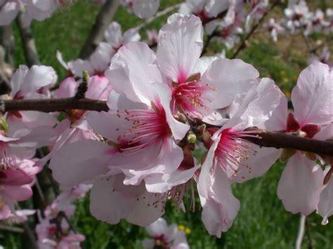 mandorlo da fiore prunus dulcis mandorlo forum natura mediterraneo
